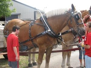 Image of Belgian horse