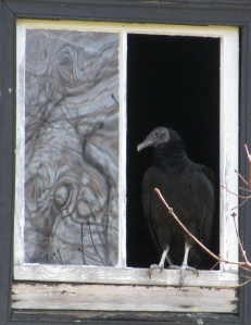 turkey vulture in window