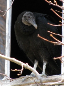 Picture of turkey vulture in window
