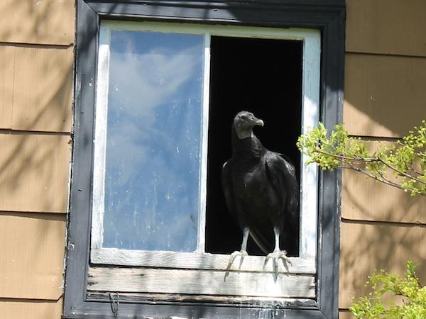 Vultureinwindow-600